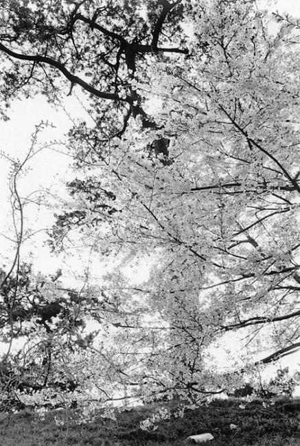Friedlander-Cherry-Blossom-Time-47